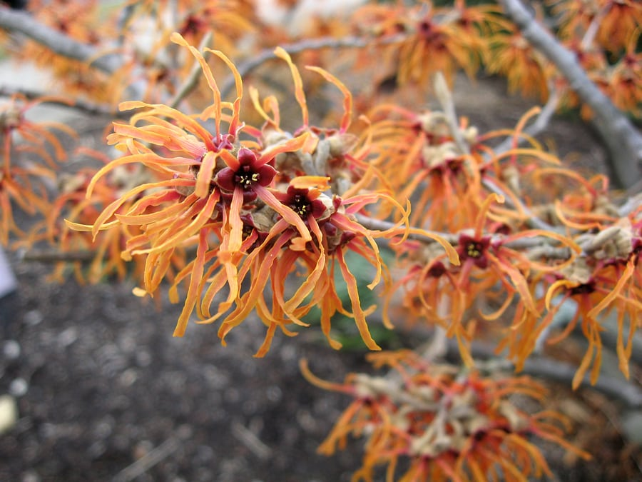 10 Secret Powers of Witch Hazel